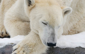 The Polar Bear Paradox